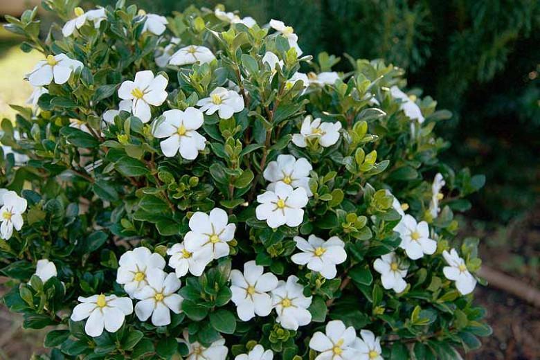 1 X GARDENIA JASMINOIDES KLEIM/'S HARDY CAPE JASMINE EVERGREEN SHRUB PLANT IN POT