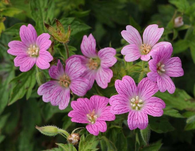 Geranium 'Miss Heidi', Hardy Geranium Miss Heidi, Cranesbill Miss Heidi, Geranium 'Miss Heidi', Best geraniums, Best groundcovers, Pink Geranium