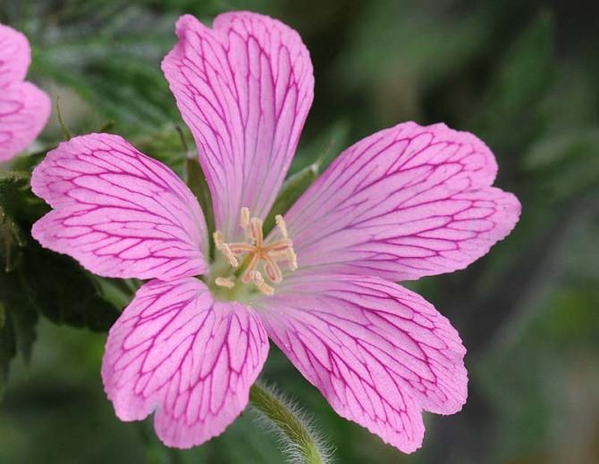 Geranium 'Wargrave Pink', Hardy Geranium Wargrave Pink, Cranesbill 'Wargrave Pink', Geranium Endressii 'Wargrave Pink', Geranium x Oxonianum 'Wargrave', Geranium 'Wargrave Pink', Best geraniums, Best groundcovers, pink geranium, salmon geranium