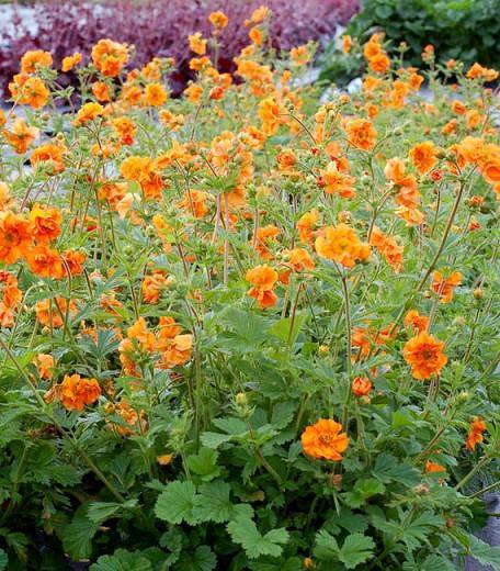 Geum 'Fireball', 'Fireball' Avens, Orange Geum, Orange Avens, Orange Flowers