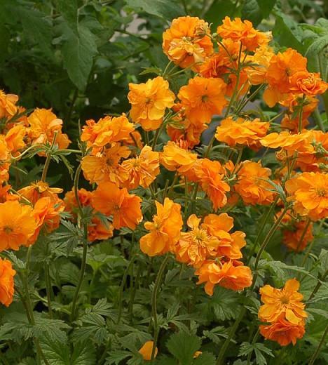 Geum 'Fire Storm', 'Fire Storm' Avens, Orange Geum, Orange Avens, Orange Flowers