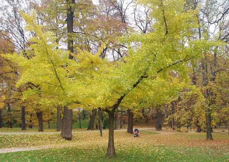 Ginkgo Biloba Horizontalis Maidenhair Tree
