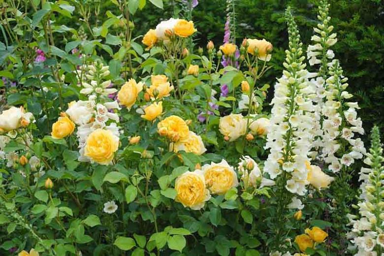 Rose Graham Thomas, Rosa 'Graham Thomas', English Rose 'Graham Thomas', David Austin Roses, English Roses, Yellow roses, shrub roses, Rose Bushes, Garden Roses, very fragrant roses, Favorite roses