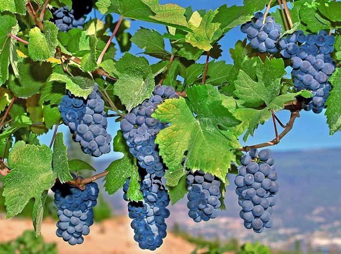 Vitis 'Mars Seedless', Grape 'Mars Seedless', Mars Seedless Grape, Grape Vines, Red Grapes, Seedless Grapes