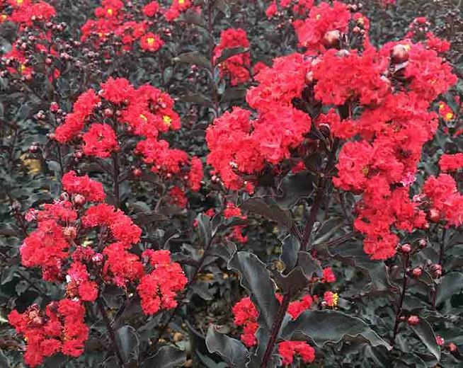 Lagerstroemia 'Ebony Flame', Crape Myrtle 'Ebony Flame', Crapemyrtle 'Ebony Flame', Dark leaves Crape Myrtle, Shrub, Red Flowers, Red Crape Myrtle