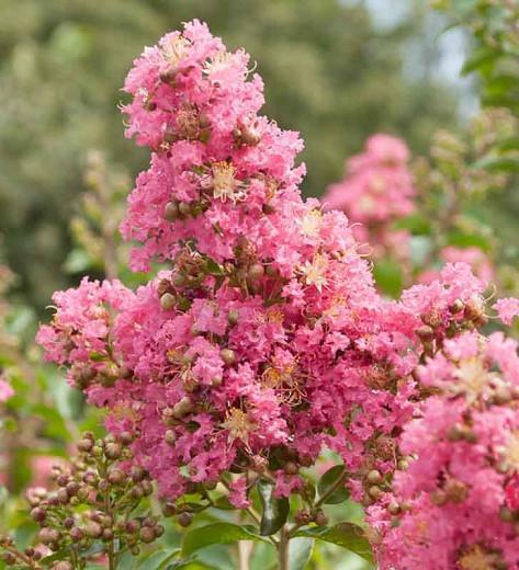 Lagerstroemia 'Comanche', Crape Myrtle 'Comanche', Crapemyrtle 'Comanche', Shrub, Pink Flowers, Pink Crape Myrtle, Lavender Flowers, Lavender Crape Myrtle, Purple Crape Myrtle, Purple Flowers