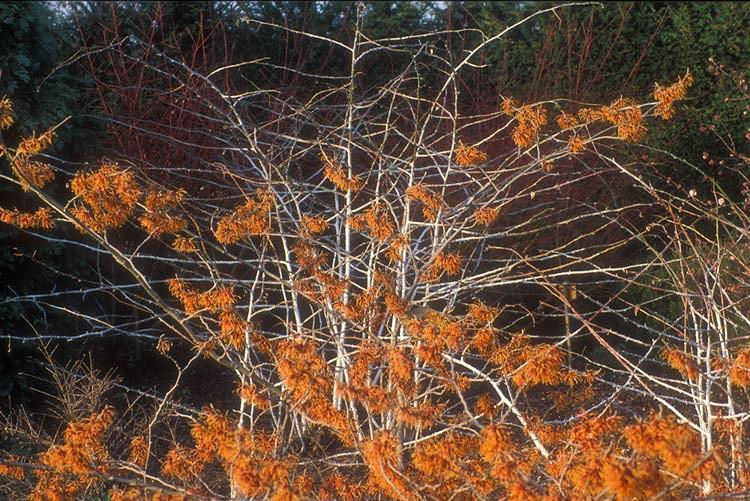 Hamamelis x Intermedia 'Jelena', Witch Hazel 'Jelena', Chinese Witch Hazel 'Jelena', Hamamelis x intermedia 'Copper Beauty', Witch Hazel 'Copper Beauty', Orange Flowers, Orange Witch Hazel