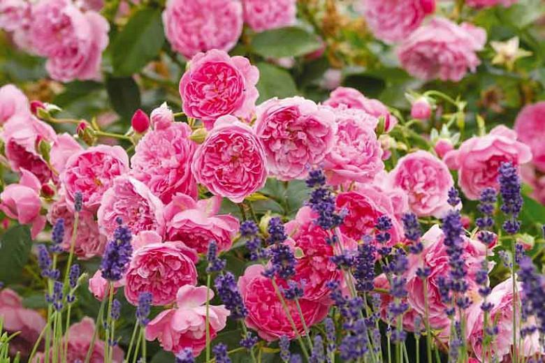 Rose Harlow Carr, Rosa 'Harlow Carr', English Rose 'Harlow Carr', David Austin Roses, English Roses, English Rose, Shrub roses, Rose Bushes, Garden Roses, pink roses
