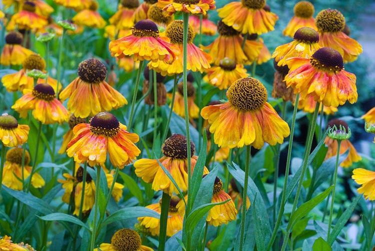 Helenium Luc, Sneezeweed Luc, Helenium Autumnale, Common Sneezeweed Luc, False Sunflower Luc, Helen's Flower Luc, Orange Helenium