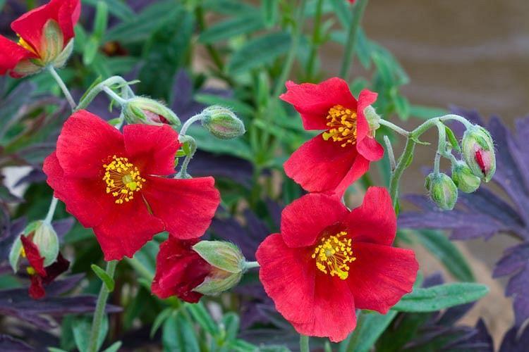 Helianthemum 'Red Dragon', Rock Rose 'Red Dragon', Sun Rose 'Red Dragon', red flowers, ground covers, grouncover, perennial ground cover, Mediterranean Plants