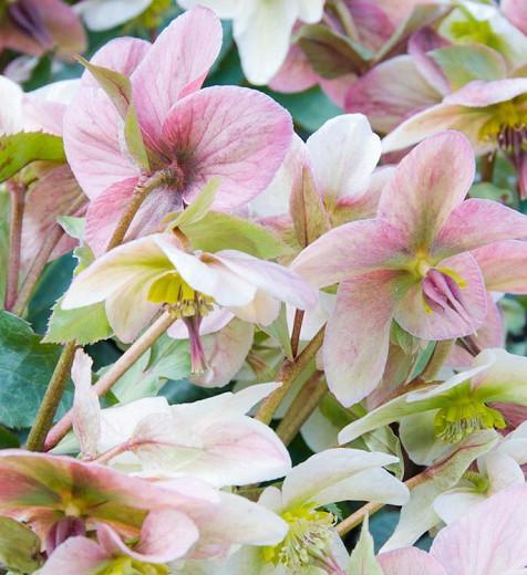 Helleborus 'Angel Glow', Christmas Rose 'Angel Glow', Lenten Rose 'Angel Glow', Pink Hellebore, Helleborus x ericsmithii Angel Glow