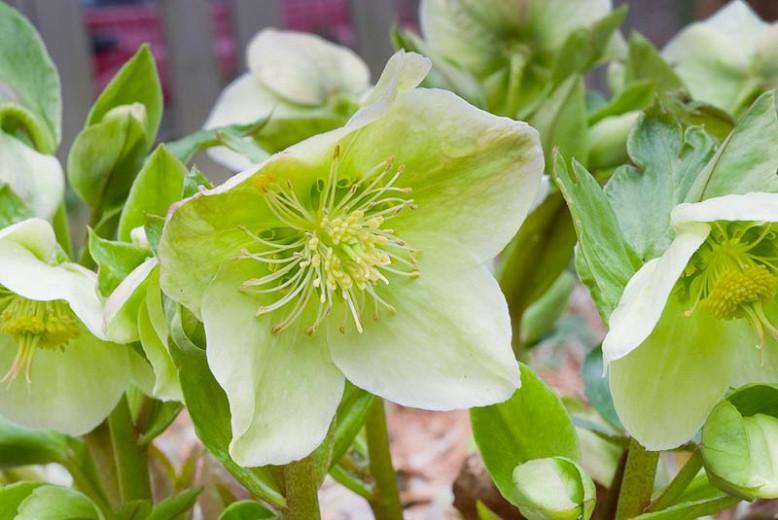 Helleborus × Nigercors 'HGC Green Corsican', Helleborus 'HGC Green Corsican', Helleborus 'Green Corsican', Helleborus Gold Collection, White Hellebore, White Lenten Rose