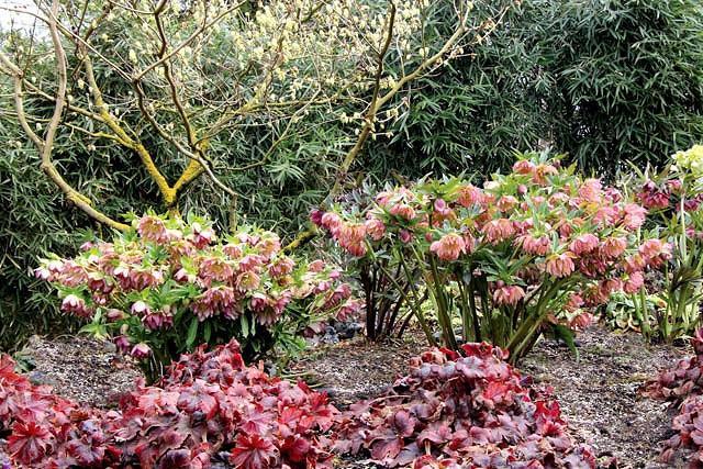 Helleborus Winter Jewels 'Amber Gem',Hellebore 'Amber Gem', Lenten Rose 'Amber Gem', Hellebores Winter Series, Apricot Hellebore, Double Hellebore