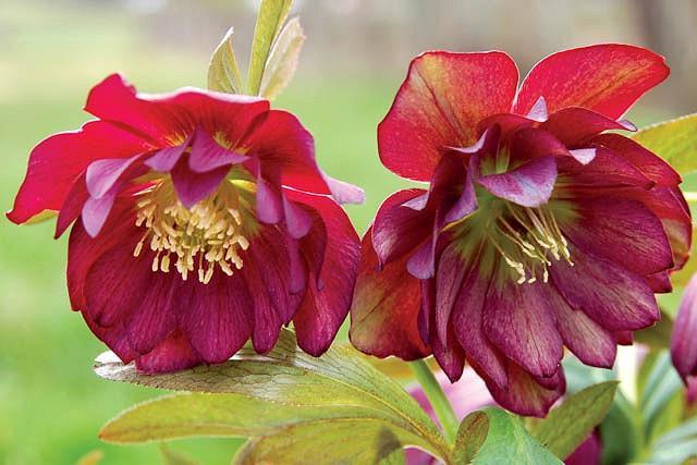 Helleborus Winter Jewels 'Berry Swirl',Hellebore 'Berry Swirl', Lenten Rose 'Berry Swirl', Helleborus x hybridus 'Berry Swirl', Hellebores Winter Series, purple Hellebore, Double Hellebore