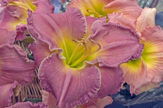 Hemerocallis Advanced Party, Daylily Advanced Party, Day Lily Advanced Party, Advanced Party Daylily, Very early season Daylily, Pink daylilies, Pink Daylily, Day Lilies, Pink flowers, Pink Hemerocallis