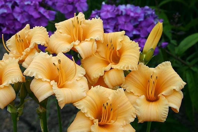 Hemerocallis Apricot Sparkles, Daylily Apricot Sparkles, Day Lily Apricot Sparkles, Apricot Sparkles Daylily, Reblooming Daylily, daylilies, Daylily, Day Lilies, Apricot flowers, Apricot  day lily, Apricot  Daylily