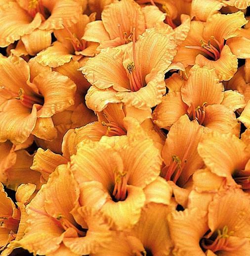 Hemerocallis Bertie Ferris, Daylily Bertie Ferris, Day Lily Bertie Ferris,Bertie Ferris Daylily, Early Season Daylily, Yellow daylilies, Yellow Daylily, Yellow flowers, Yellow Hemerocallis