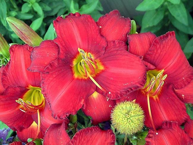 Hemerocallis 'Chicago Apache', Daylily 'Chicago Apache', Day Lily 'Chicago Apache', Chicago Apache' Daylily, daylilies, Daylily, Day Lilies, Red flowers, Red day lily, Red Daylily, Hemerocallidaceae, perennial, plant
