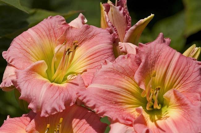 Hemerocallis Jedi Free Spirit, Daylily Jedi Free Spirit, Day Lily Jedi Free Spirit, Flamingo Jedi Free Spirit, Midseason Daylily, Pink daylilies, Pink Daylily, Pink flowers, Pink Hemerocallis