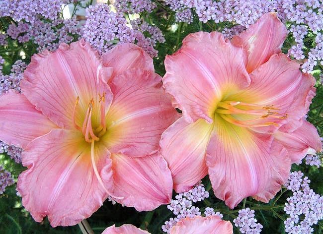 Hemerocallis 'Jolyene Nichole', Daylily 'Jolyene Nichole', Day Lily 'Jolyene Nichole', 'Jolyene Nichole' Daylily, Midseason Daylily, Pink daylilies, Pink Daylily, Day Lilies, Pink flowers, Pink Hemerocallis