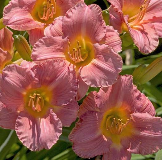 Hemerocallis My Melinda, Daylily My Melinda, Day Lily My Melinda, My Melinda Daylily, Midseason Daylily, Pink daylilies, Pink Daylily, Day Lilies, Pink flowers, Pink Hemerocallis