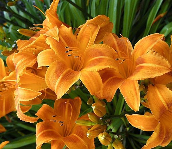 Hemerocallis Rocket City, Daylily Rocket City, Day Lily Rocket City,Rocket City Daylily, Early Midseason Daylily, Orange daylilies, Orange Daylily, Orange flowers, Orange Hemerocallis