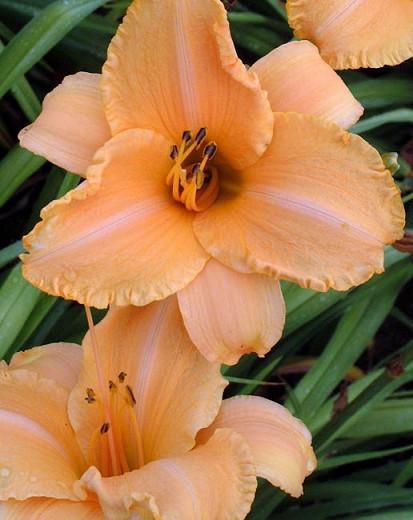 Hemerocallis 'Ruffled Apricot', Daylily 'Ruffled Apricot', Day Lily 'Ruffled Apricot', 'Ruffled Apricot' Daylily, Reblooming Daylily, daylilies, Daylily, Day Lilies, Apricot flowers, Apricot  day lily, Apricot  Daylily, Hemerocallidaceae, perennial, plant