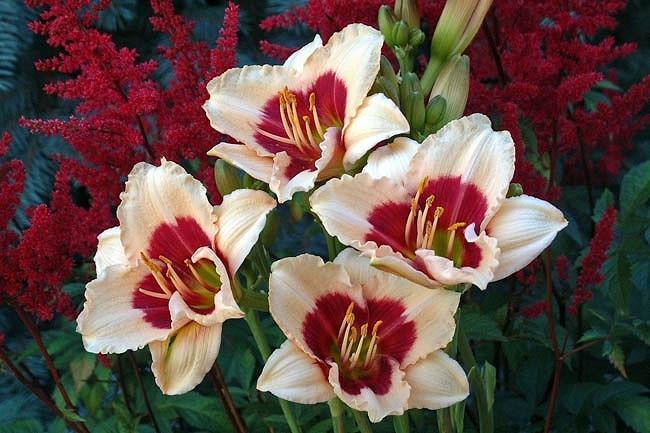 Hemerocallis Siloam Shocker, Daylily Siloam Shocker, Day Lily Siloam Shocker, Siloam Shocker Daylily, Midseason Daylily, Pink daylilies, Pink Daylily, Pink flowers, Pink Hemerocallis