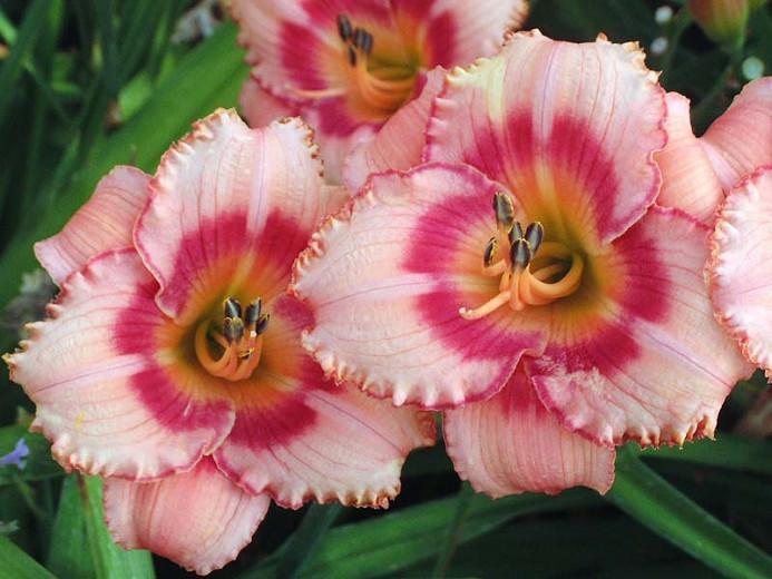 Hemerocallis 'Strawberry Candy', Daylily 'Strawberry Candy', Day Lily 'Strawberry Candy', 'Strawberry Candy Daylily, Reblooming Daylily, daylilies, Daylily, Day Lilies, pink flowers, pink day lily, pink Daylily, Hemerocallidaceae, perennial, plant