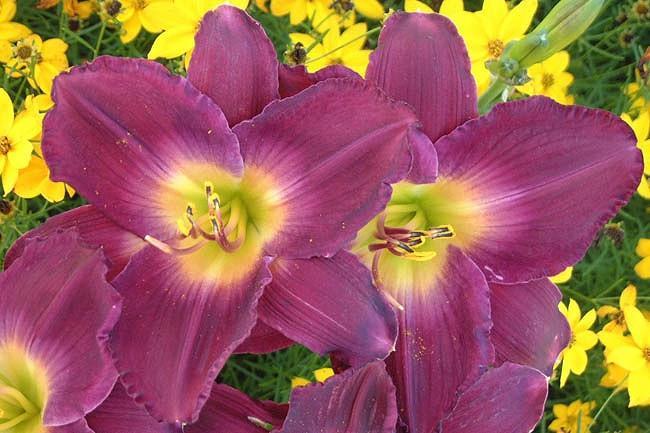 Hemerocallis Strutter's Ball, Daylily Strutter's Ball, Day Lily Strutter's Ball, Strutter's Ball Daylily, Midseason Daylily, Purple daylilies, Purple  Daylily, Purple  flowers, Purple  Hemerocallis