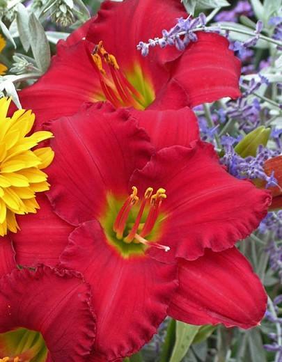 Hemerocallis Woodside Ruby, Daylily Woodside Ruby, Day Lily Woodside Ruby, Woodside Ruby Daylily, Midseason Daylily, Red daylilies, Red Daylily, Red flowers, Red Hemerocallis