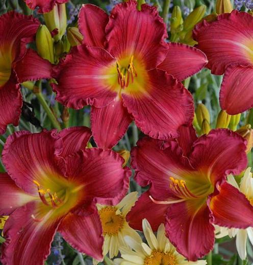 Hemerocallis 'Romantic Returns', Daylily 'Romantic Returns', Day Lily 'Romantic Returns', 'Strawberry Candy Daylily, Reblooming Daylily, daylilies, Daylily, Day Lilies, pink flowers, pink day lily, pink Daylily, Hemerocallidace