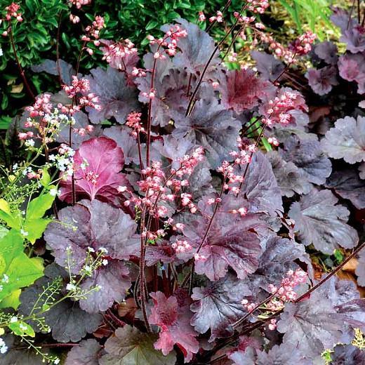 Heuchera Bella Notte,  Coral Bells 'Bella Notte', Alum Root 'Bella Notte', Shade plants, Evergreen plants, Foliage plant, Black Foliage, Black Heuchera