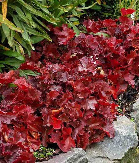 Heuchera Glitter,  Coral Bells Glitter, Alum Root Glitter, Shade plants, Evergreen plants, Foliage plant, Silver Foliage, Silver Heuchera