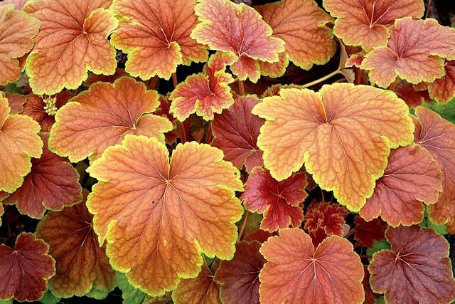 Heuchera 'Delta Dawn', Coral Bells 'Delta Dawn', Alum Root 'Delta Dawn', Shade plants, Evergreen plants, Yellow Heuchera, Green Heuchera