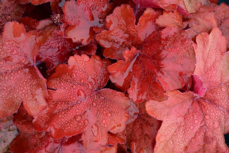 Heuchera 'Fire Alarm', Coral Bells 'Fire Alarm', Alum Root 'Fire Alarm', Coral Flower 'Fire Alarm', Shade plants, Evergreen plants, Red Heuchera