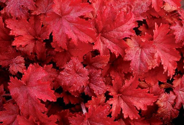 Heuchera 'Fire Chief', Coral Bells 'Fire Chief', Alum Root 'Fire Chief', Coral Flower 'Fire Chief', Shade plants, Evergreen plants, Red Heuchera