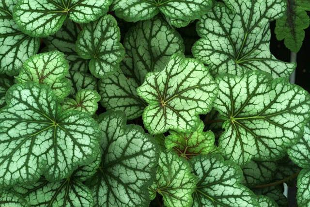 Heuchera 'Green Spice', Coral Bells 'Green Spice', Alum Root 'Green Spice', Heuchera Americana 'Green Spice', Shade plants, Evergreen plants