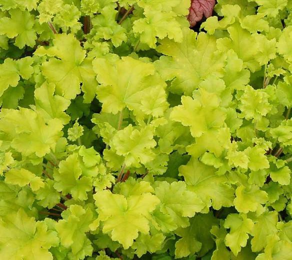 Heuchera Lime Marmalade,  Coral Bells Lime Marmalade, Alum Root Lime Marmalade, Shade plants, Evergreen plants, Foliage plant, Yellow Foliage, Yellow Heuchera