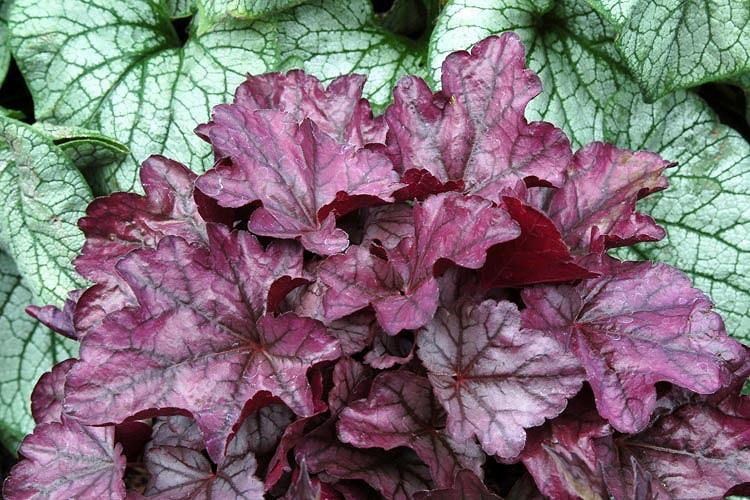 Heuchera 'Plum Royale', Coral Bells 'Plum Royale', Alum Root 'Plum Royale', Coral Flower 'Plum Royale', Shade plants, Evergreen plants, Purple Heuchera