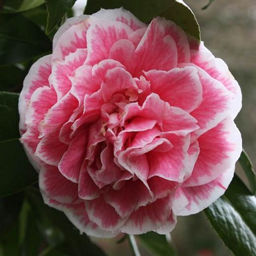 Camellia Japonica 'Herme', Camellia 'Herme', 'Herme' Camellia, Camellia 'Jordan's Pride', Camellia 'Souvenir d'Henri Guichard', Camellia 'Hikarugenji', Winter Blooming Camellias, Spring Blooming Camellias, Mid Season Camellias, Pink flowers, Pink Camellias