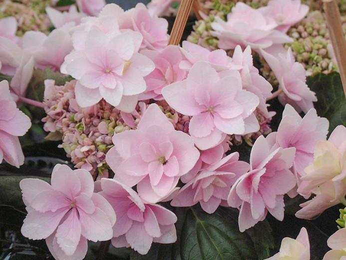 Hydrangea Macrophylla 'Eternity', Bigleaf Hydrangea 'Eternity', Mophead Hydrangea 'Eternity', Hydrangea macrophylla 'Youmetwo', Hydrangea macrophylla 'RIE2', You-Me Series, Pink Hydrangea, Blue Hydrangea, Double Hydrangea