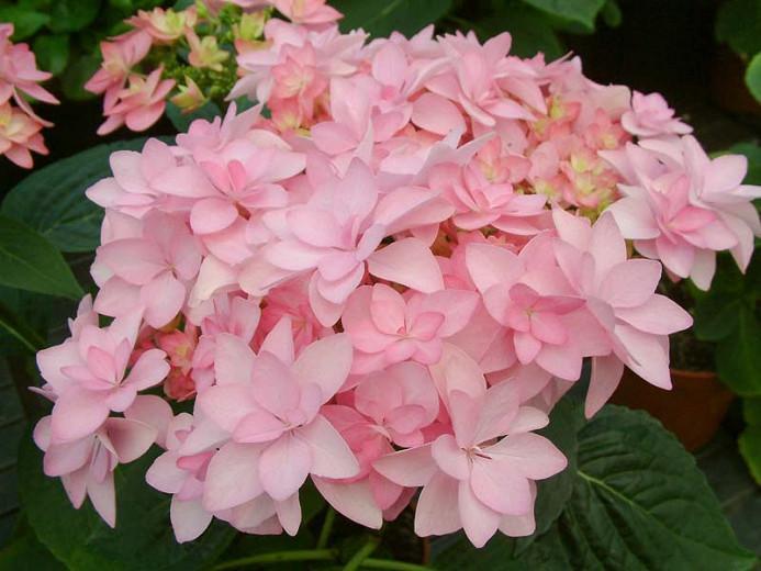 Hydrangea Macrophylla 'Romance', Bigleaf Hydrangea 'Romance', Mophead Hydrangea 'Romance', Hydrangea macrophylla 'Youmenine', Hydrangea macrophylla 'RIE9', Pink Hydrangea, Blue Hydrangea, Double Hydrangea