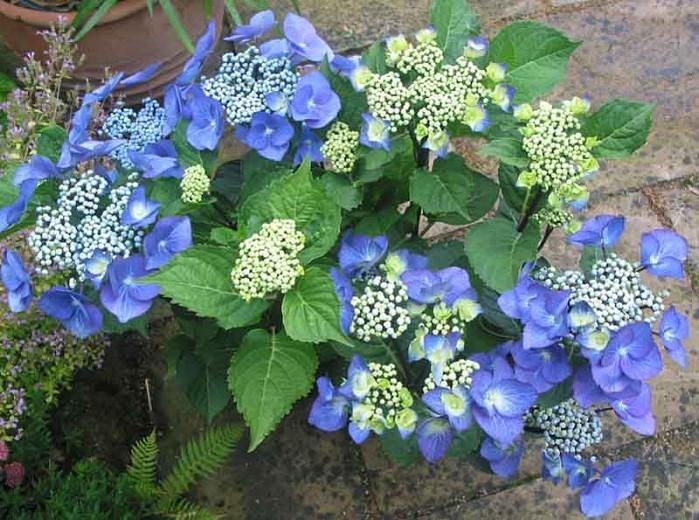 Hydrangea Macrophylla 'Zorro', Bigleaf Hydrangea 'Zorro', Lacecap Hydrangea 'Zorro', Hydrangea 'Zorro', Blue Hydrangea, Pink Hydrangea