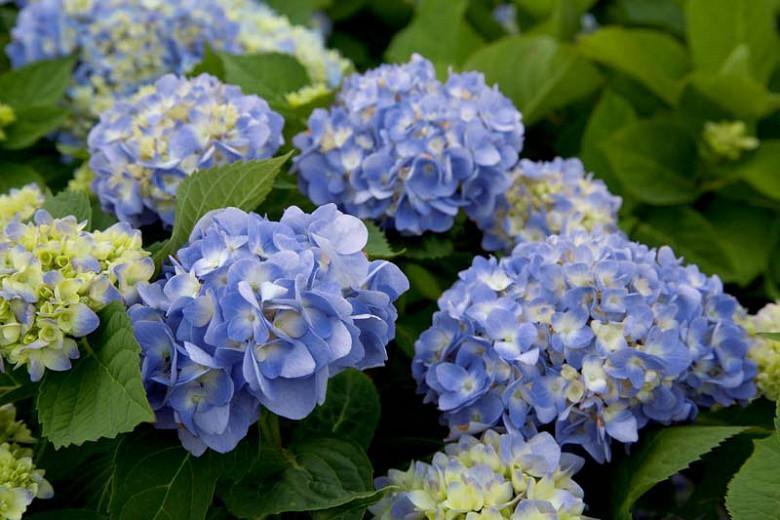 Hydrangea Macrophylla 'Dear Dolores', Bigleaf Hydrangea 'Dear Dolores', Mophead Hydrangea 'Dear Dolores', Hortensia 'Dear Dolores', Blue Hydrangea, Blue Hortensia, Hydrangea macrophylla 'Wyatt LeFever'