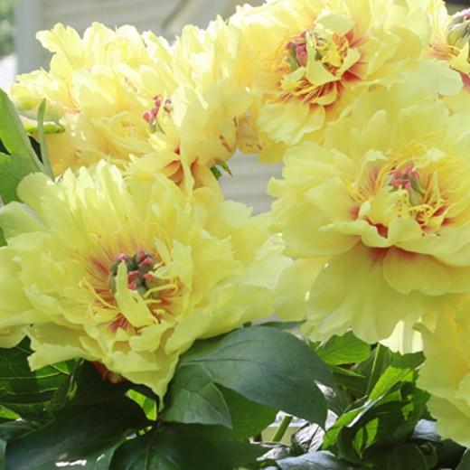 Paeonia 'Bartzella', Peony 'Bartzella', 'Bartzella' Peony, Itoh Peony 'Bartzella', Intersectional Peony 'Bartzella', Yellow Peonies, Yellow flowers, Fragrant Peonies