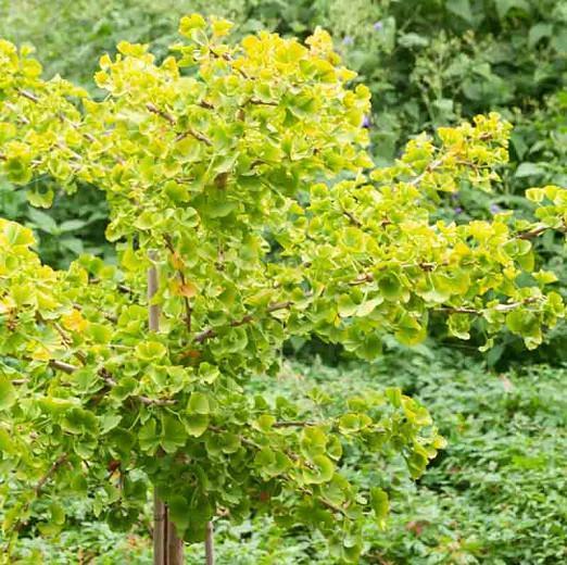 Ginkgo biloba 'Mariken', Maidenhair Tree Mariken, Fossil Tree 'Mariken', Icho 'Mariken', Fall color, Yellow Leaves