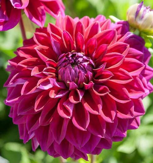 Dahlia Diva, Diva Dahlia, Decorative Dahlias , Purple Dahlias, Dahlia Tubers, Dahlia Bulbs, Dahlia Flower, Dahlia Flowers, summer bulbs