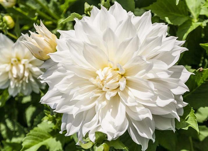 Dahlia 'Fleurel', Fleurel Dahlia, White Dahlia, Dinner Plate Dahlia, Decorative Dahlias,Dahlia Tubers, Dahlia Bulbs,