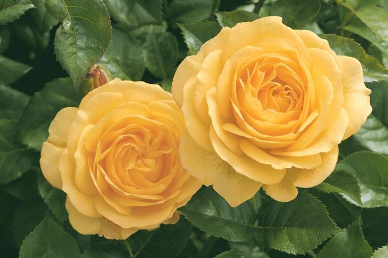 Rosa 'Julia Child',Rose 'Julia Child', Rosa 'Absolutely Fabulous', Rosa 'Anisade', Rosa 'Soul Mate', Shrub Roses, Floribunda Roses, Yellow Roses